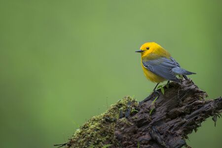 A bright yellow Prothonotary Warbler perches on a moss covered log deep in a swampy forest in soft overcast light. Banque d'images