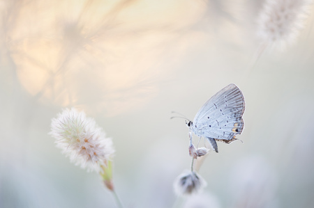 An Eastern Tailed-Blue butterfly sits in an overgrown field surrounded by light colors and soft pastels.