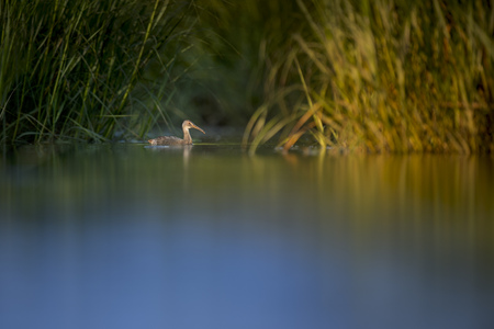 A Clapper Rail swims in the shallow water of the salt water marsh with the early morning sun starting to shine on the grasses Stock Photo