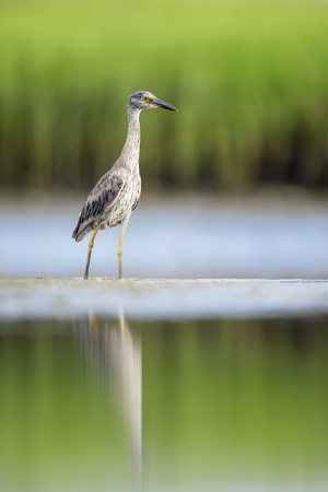 A young Yellow-crowned Night Heron stands in the shallow water with soft green marsh grasses in the background and reflected in the calm water.