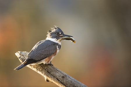 A female Belted Kingfisher perched on a log with a large fish in her beak with a smooth fall colored background in early morning sun.