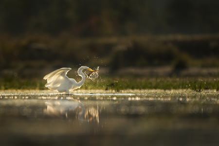 A large white Greaet Egret captures a pickeral fish and splashes around in the shallow water as it glows in the morning sun.