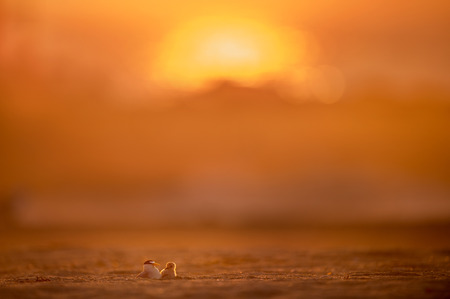 A young fluffy Least Tern chick emerges from underneath its parent to greet the morning sunrise on a sandy beach.