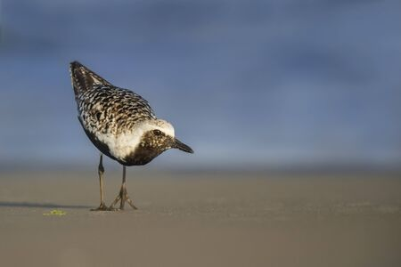 A Black-bellied Plover searches the beah for food in the late evening sun. Stock Photo