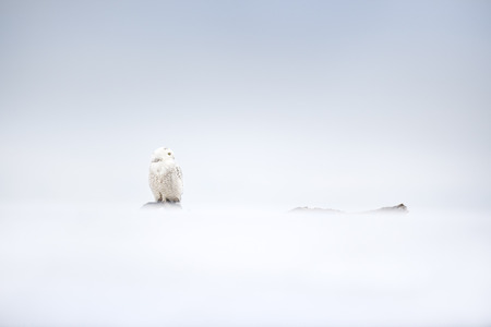 A Snow Owl perched on a dead tree near the ground on a snowing overcast day with all white surrounding the bird.