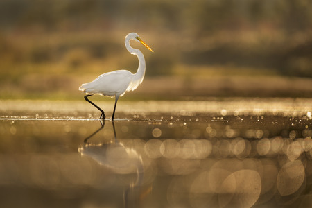 A Great Egret wades in the shallow water with its reflection in the glowing morning sun.