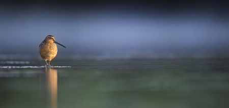 A Short-billed Dowitcher stands in the shallow water looking into the rising sun on a warm summer morning.