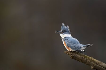 A female Belted Kingfisher sits on an open perch and calls out loudly in the soft light with a dark brown background.
