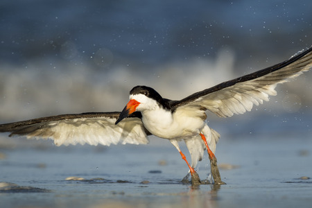 A Black Skimmer takes off from the wet sandy beach in the bright morning sun with waves crashing in the background.