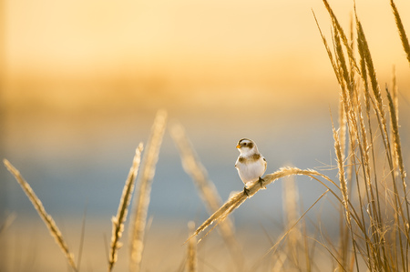 A small and cute Snow Bunting perches on some dune grasses in the glowing evening winter sun.