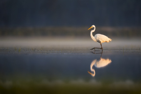An elegant Great Egret wades through the calm shallows as the first rays of sunlight shine on the white bird.