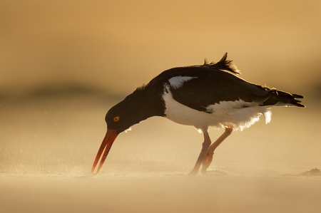 An American Oystercatcher on a sandy beach with the setting sun creating a glow around it.