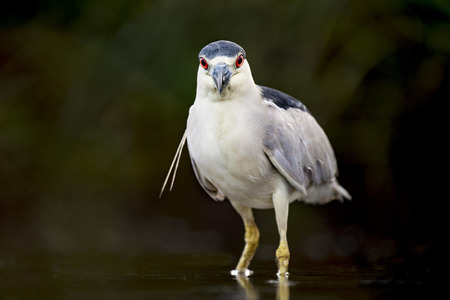 A Black-crowned Night Heron stares right at the camera with its bright red eyes standing out against a dark background.