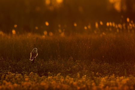 A Short-eared Owl perched on a branch in an open field glowing in the setting sun.
