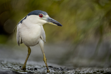 A Black-crowned Night Heron strikes an interesting pose as it stalks along the muddy shallows in search of food.
