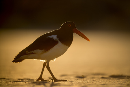 One of the parents of an American Oystercatcher family strolls by right into the setting sun which gave me a wonderful golden glow around the bird.