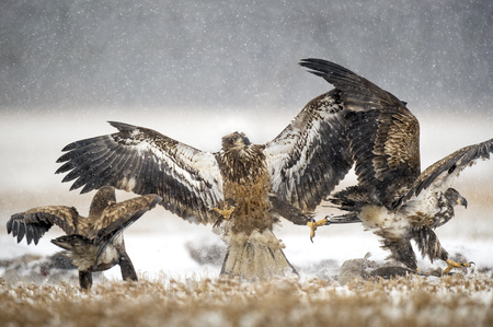 A group of juvenile Bald Eagles fight over a carcass in the light snowfall on a farm.
