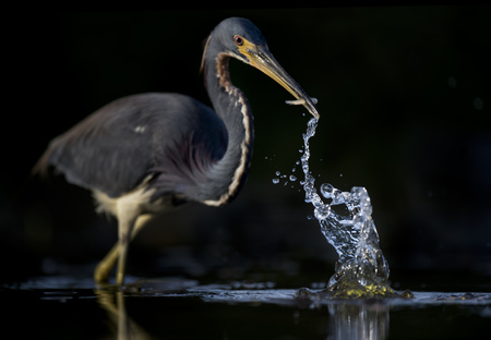 A Tricolored Heron makes a large splash in the water after striking out to catch a small fish in its beak with a solid black background.
