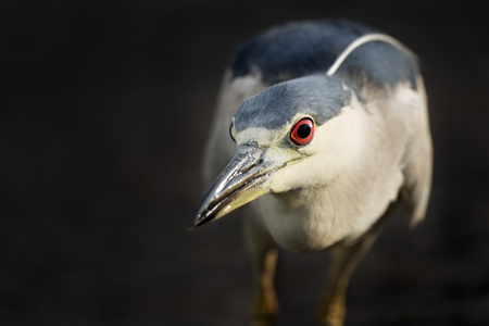 A Black-crowned Night Heron stalks prey in a spotlight of sun with a dark background. Its bright red eye really stands out.