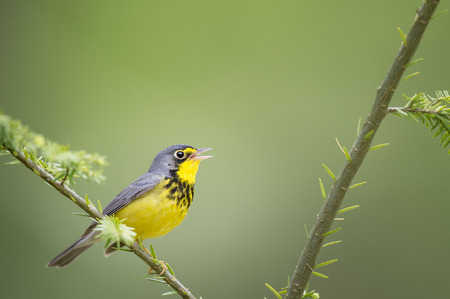 A beautiful yellow and black male Canada Warbler sings while perched on a branch with a smooth green background. 版權商用圖片