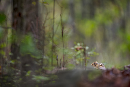 A small Chipmunk sits on the ground in soft light in the forest. Stock Photo