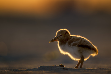 A small and cute American Oystercatcher chick stands on a sandy beach glowing in the orange setting sun. Stock Photo