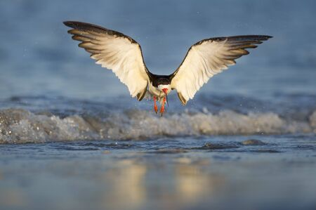 A Black Skimmer takes off from the shallow waters along the coastline in the early morning sun. Stock Photo