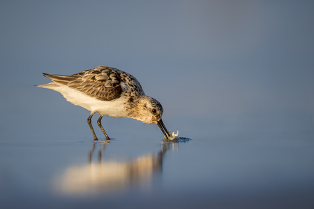 A Sanderling eats a small sand crab on the wet sand in the early morning sun with its soft reflection in the blue sand.
