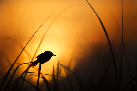 A Marsh Wren perches on top of some grasses as it is silhouetted against the bright yellow and orange sunrise sky.