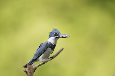 A male Belted Kingfisher perched on a branch with a small fish in its beak with a bright green background.