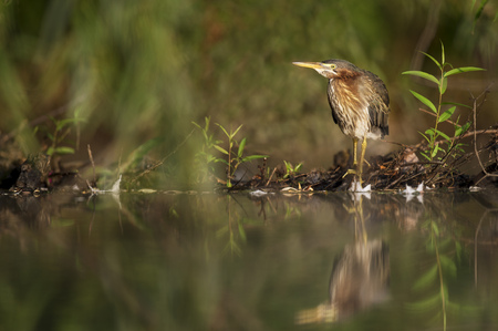 A juvenile Green Heron stands along the edge of a pond in the morning sun with its reflection in the water. Stock Photo