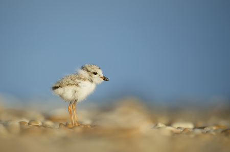 A tiny and cute Piping Plover chick stands on the beach on a sunny morning with a bright blue background.