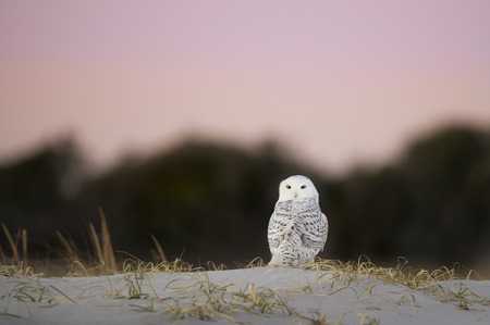 A Snowy Owl sits on a beach sand dune with dark trees and a pink and purple dawn sky behind it.