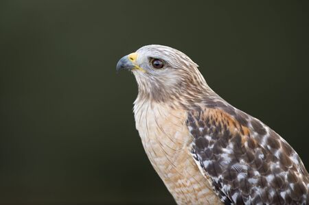 A close up of a Red-shouldered Hawk with a dark green smooth background in soft overcast light.