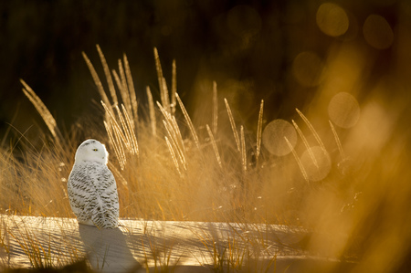 A Snowy Owl sits on a sand dune on the beach with glowing grasses around it from the backlit sun.