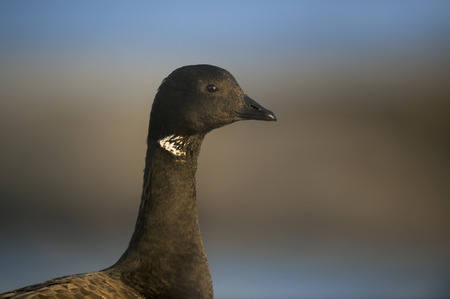 A close head shot portrait of a Brant goose with the early morning sun shining on it with a smooth brown and blue background. Stock Photo