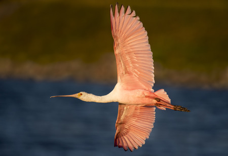 A Roseate Spoonbill in flight in the soft warm evening sunlight with its bright pink wings fully spread.