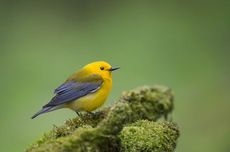 A bright yellow Prothonotary Warbler perched on a green mossy log with a smooth green background.