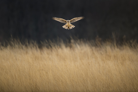 A Northern Harrier hovers in front of a dark background over a field of soft brown grasses.