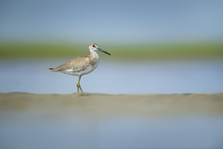 A Willet stands on a small sand bar in the water on a bright sunny summer day with a smooth green and blue background.