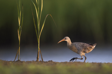 A Clapper Rail walks along a bit of land with marsh grasses growing next to it in the morning sunlight.