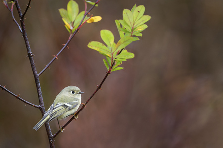 A Ruby-crowned Kinglet perched on a thorny branch with bright green leaves against a smooth redish background.