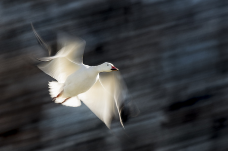 A Snow Goose in flight with its wings and the background blurred as it glows from the bright sun. Stock Photo