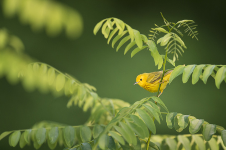 A tiny Yellow Warbler perched in a green branch with a smooth green background Stock Photo