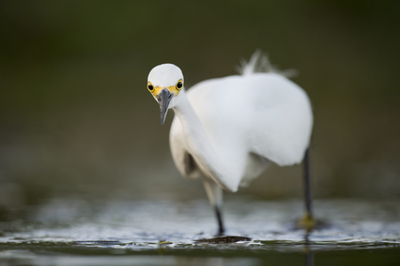 A Snowy Egret stalks fish in the shallows with its large yellow eyes standing out as it intensly stares. Stock Photo