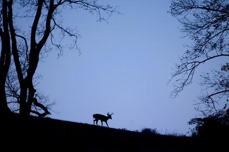 A silhouette of a Whitetail Deer buck walking on a hill top just before sunrise with a deep blue sky. Stock Photo
