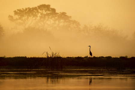 A Great Blue Heron silhouetted against a foggy sunrise scene with trees fading into view in the distance. Stock Photo