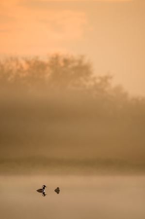 A pair of Hooded Mergansers float on a calm pond in the early morning light fog as the sun rises.