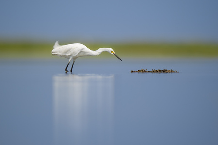 A Snowy Egret stalks a clump of floating seaweed on a bright sunny day with a smooth blue foreground and background.