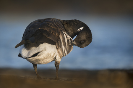 A Brant Goose stand on the shore of the water while preening and cleaning its feathers.